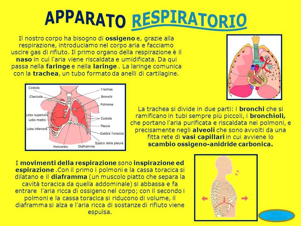 E l'apparato che provvede alla circolazione del sangue in tutto l'organismo. È formato dal cuore e da un complesso di vasi, suddivisi in arterie, vene