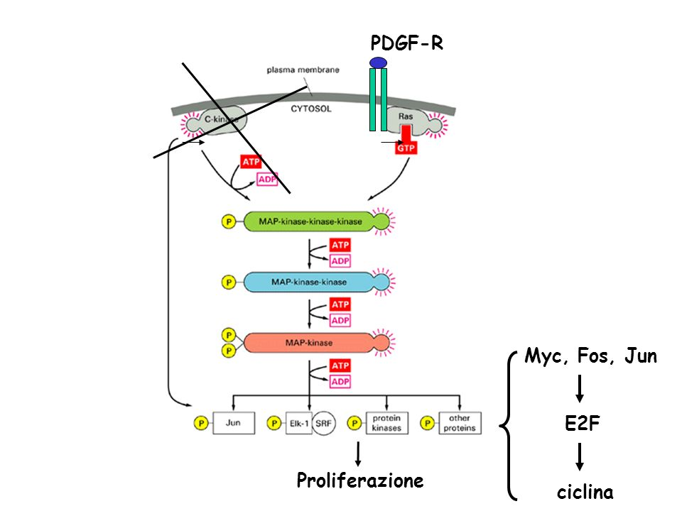 Proliferazione PDGF-R Myc, Fos, Jun E2F ciclina