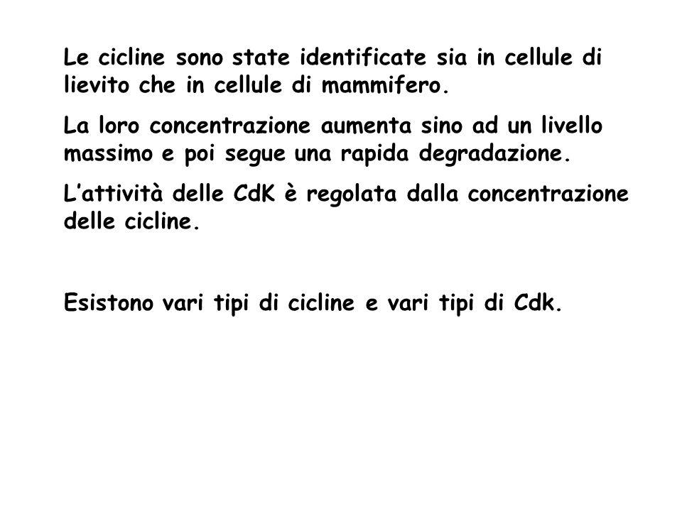 Le cicline sono state identificate sia in cellule di lievito che in cellule di mammifero. La loro concentrazione aumenta sino ad un livello massimo e