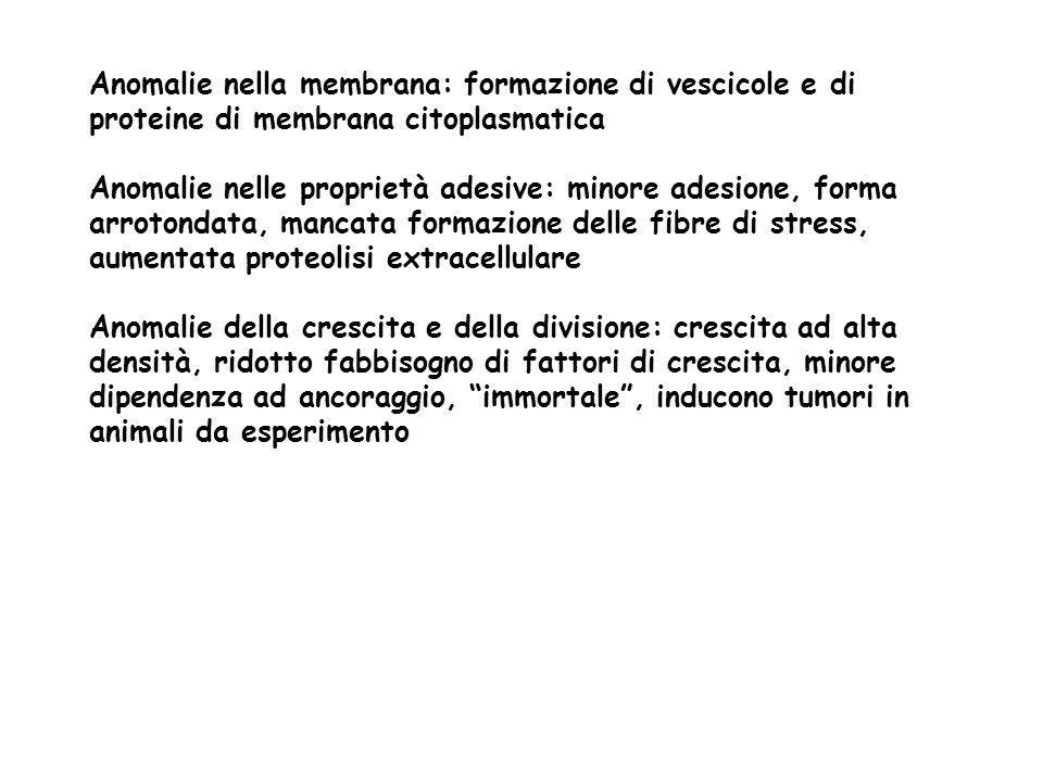 Anomalie nella membrana: formazione di vescicole e di proteine di membrana citoplasmatica Anomalie nelle proprietà adesive: minore adesione, forma arr