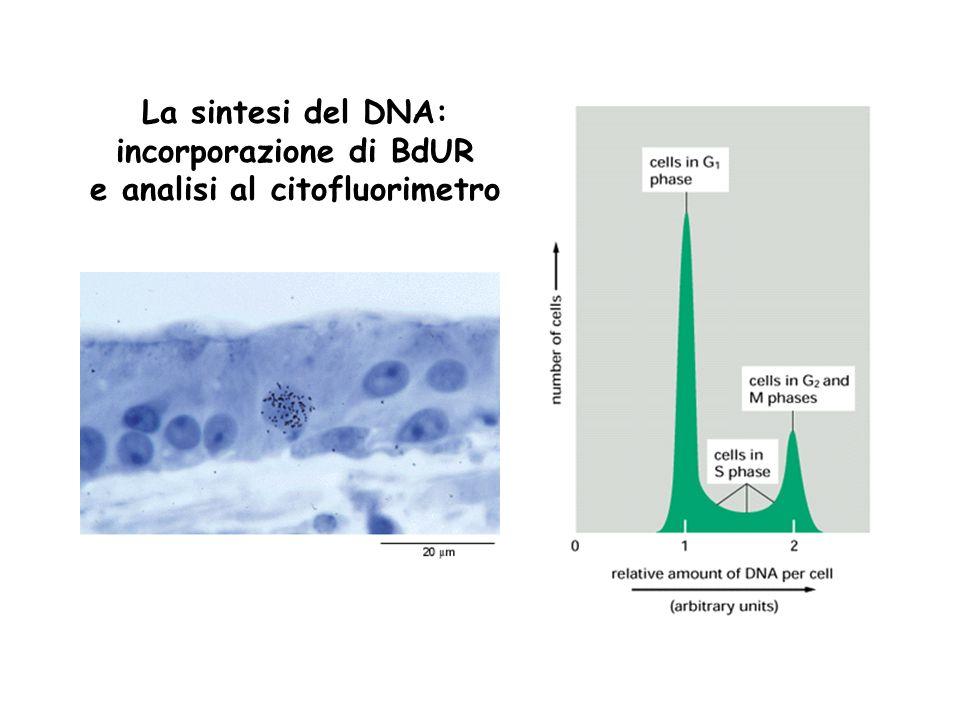 La sintesi del DNA: incorporazione di BdUR e analisi al citofluorimetro