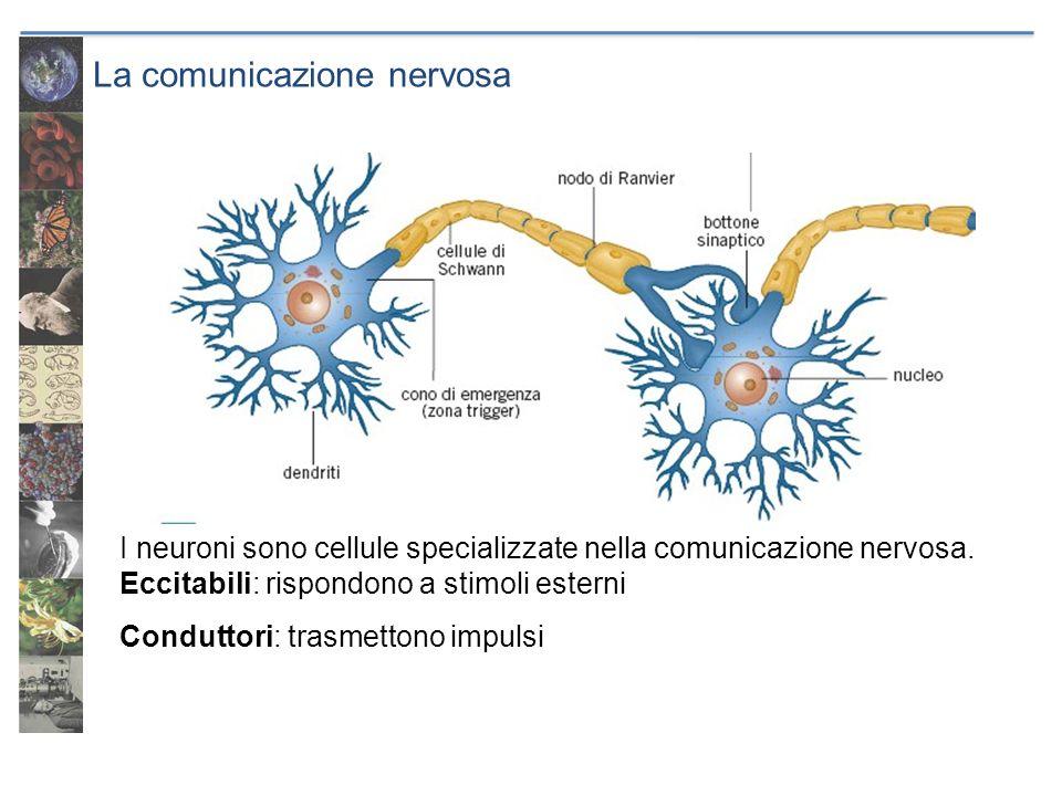La comunicazione nervosa I neuroni sono cellule specializzate nella comunicazione nervosa. Eccitabili: rispondono a stimoli esterni Conduttori: trasme