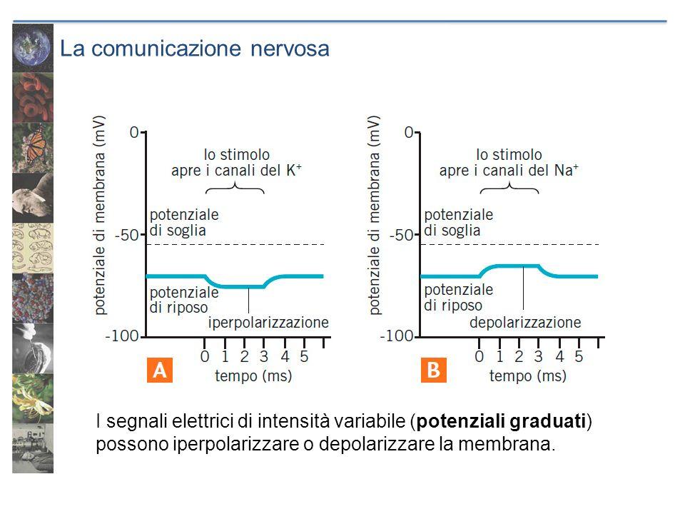 La comunicazione nervosa I segnali elettrici di intensità variabile (potenziali graduati) possono iperpolarizzare o depolarizzare la membrana.