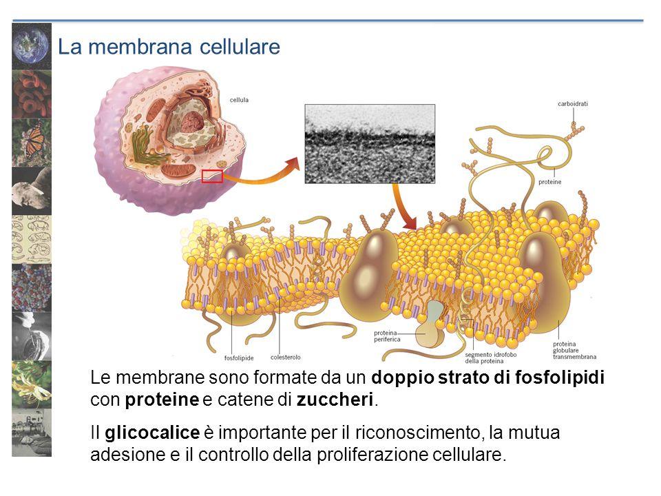 La membrana cellulare Le membrane sono formate da un doppio strato di fosfolipidi con proteine e catene di zuccheri. Il glicocalice è importante per i