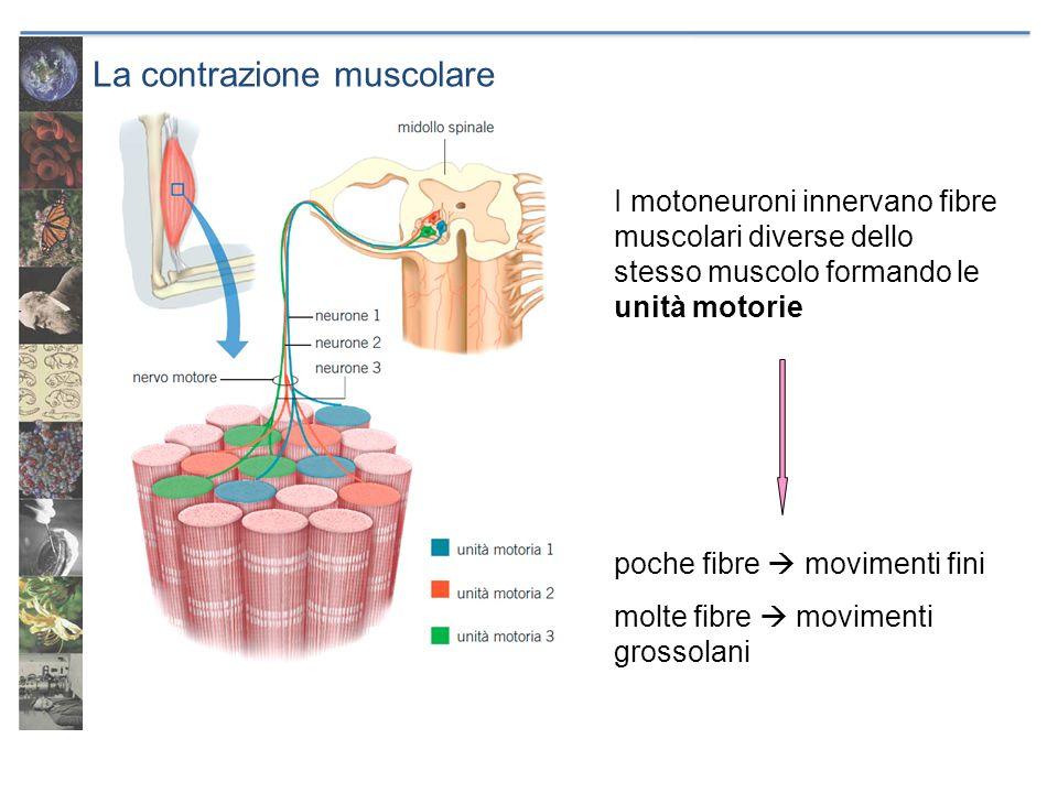 La contrazione muscolare I motoneuroni innervano fibre muscolari diverse dello stesso muscolo formando le unità motorie poche fibre movimenti fini mol