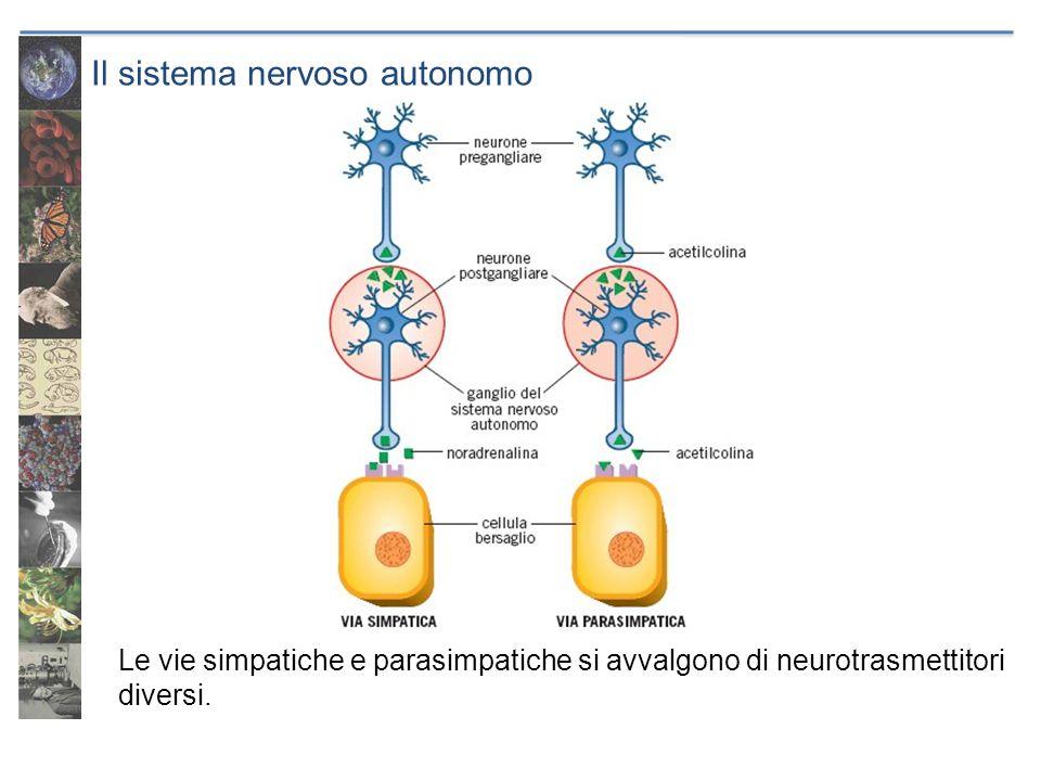 Il sistema nervoso autonomo Le vie simpatiche e parasimpatiche si avvalgono di neurotrasmettitori diversi.
