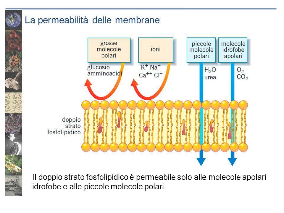 La permeabilità delle membrane Il doppio strato fosfolipidico è permeabile solo alle molecole apolari idrofobe e alle piccole molecole polari.