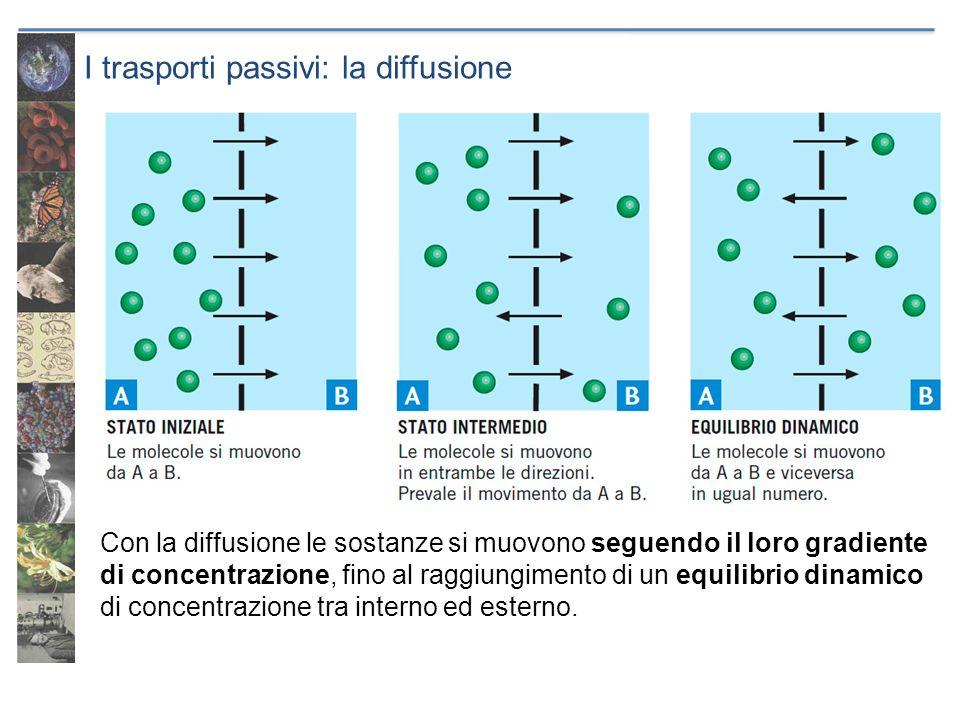 I trasporti passivi: la diffusione Con la diffusione le sostanze si muovono seguendo il loro gradiente di concentrazione, fino al raggiungimento di un