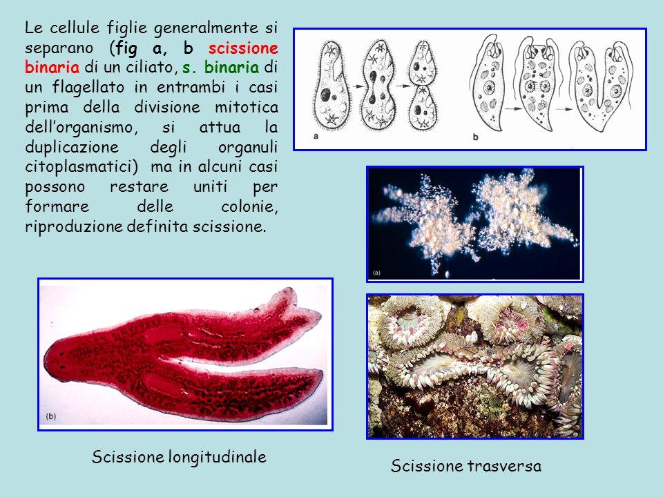 Le cellule figlie generalmente si separano (fig a, b scissione binaria di un ciliato, s. binaria di un flagellato in entrambi i casi prima della divis