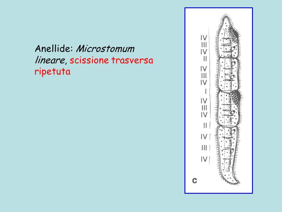 Anellide: Microstomum lineare, scissione trasversa ripetuta
