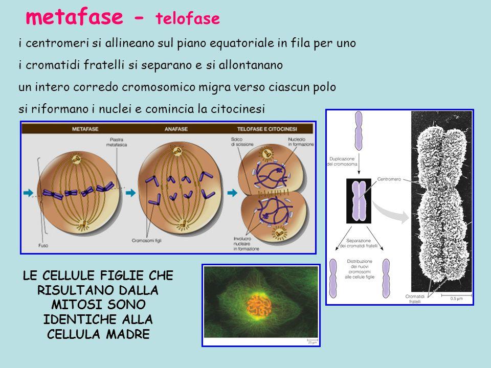 metafase - telofase i centromeri si allineano sul piano equatoriale in fila per uno i cromatidi fratelli si separano e si allontanano un intero corred