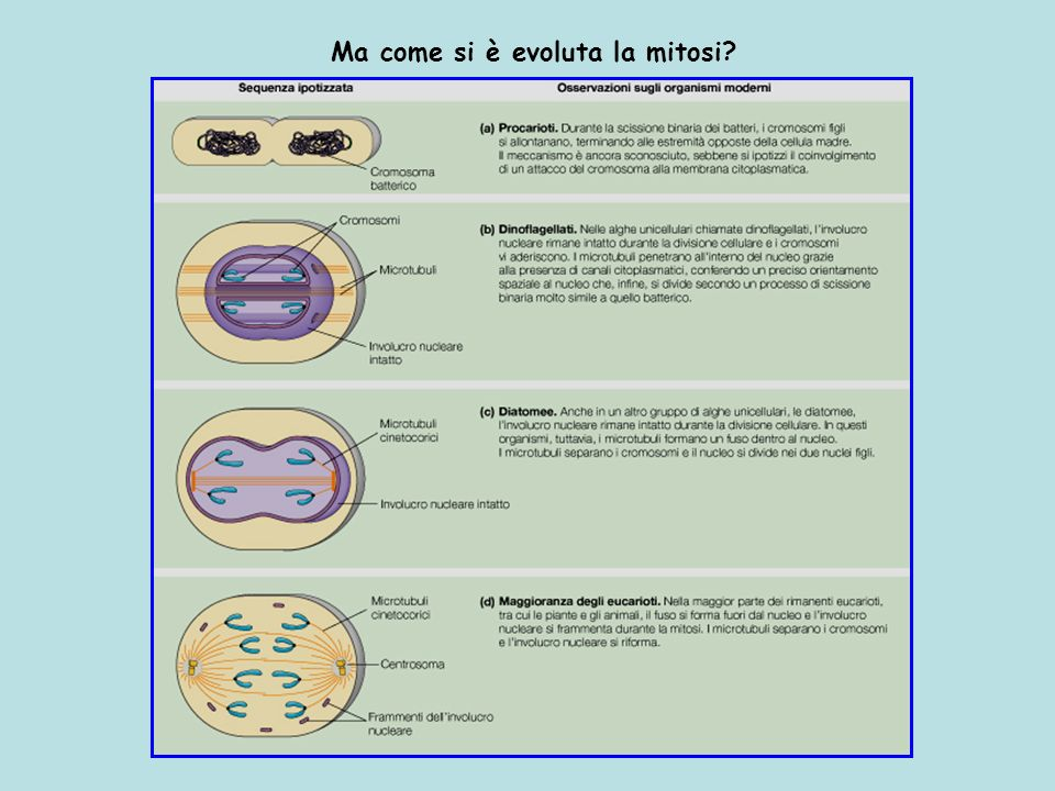 Ma come si è evoluta la mitosi?