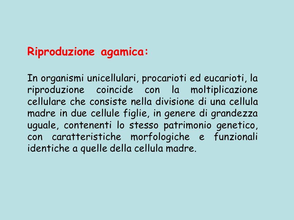 Riproduzione agamica: In organismi unicellulari, procarioti ed eucarioti, la riproduzione coincide con la moltiplicazione cellulare che consiste nella