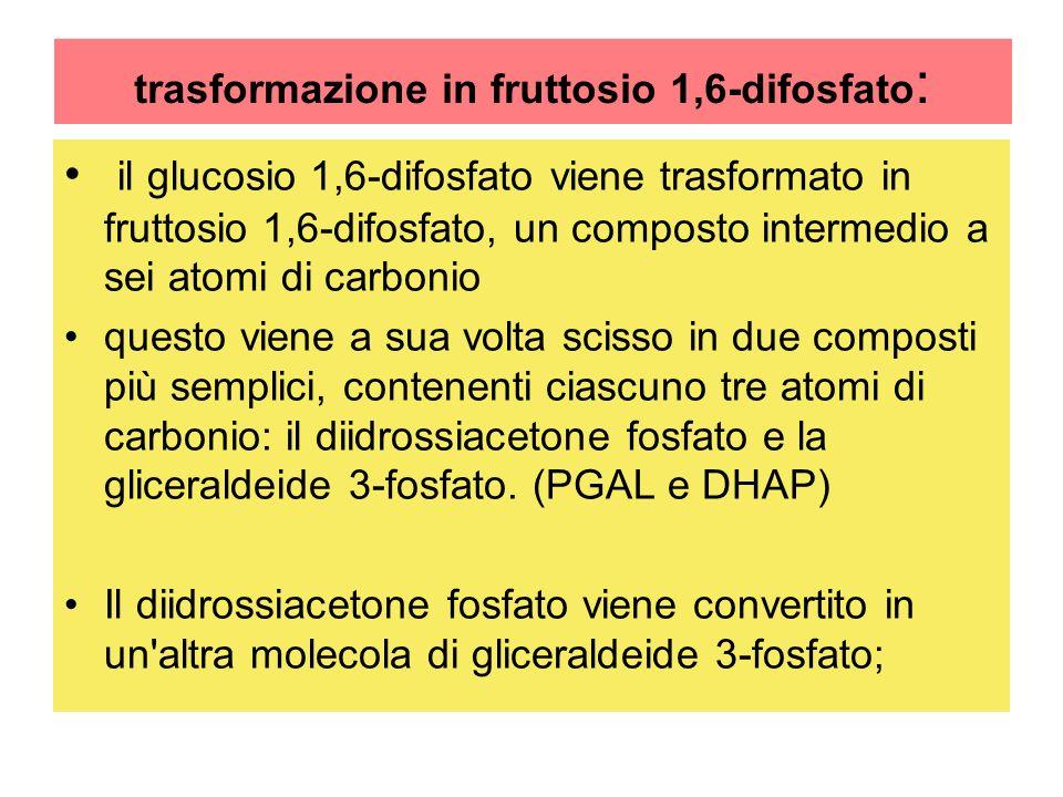 trasformazione in fruttosio 1,6-difosfato : il glucosio 1,6-difosfato viene trasformato in fruttosio 1,6-difosfato, un composto intermedio a sei atomi