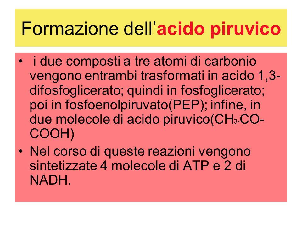 Formazione dellacido piruvico i due composti a tre atomi di carbonio vengono entrambi trasformati in acido 1,3- difosfoglicerato; quindi in fosfoglicerato; poi in fosfoenolpiruvato(PEP); infine, in due molecole di acido piruvico(CH 3- CO- COOH) Nel corso di queste reazioni vengono sintetizzate 4 molecole di ATP e 2 di NADH.