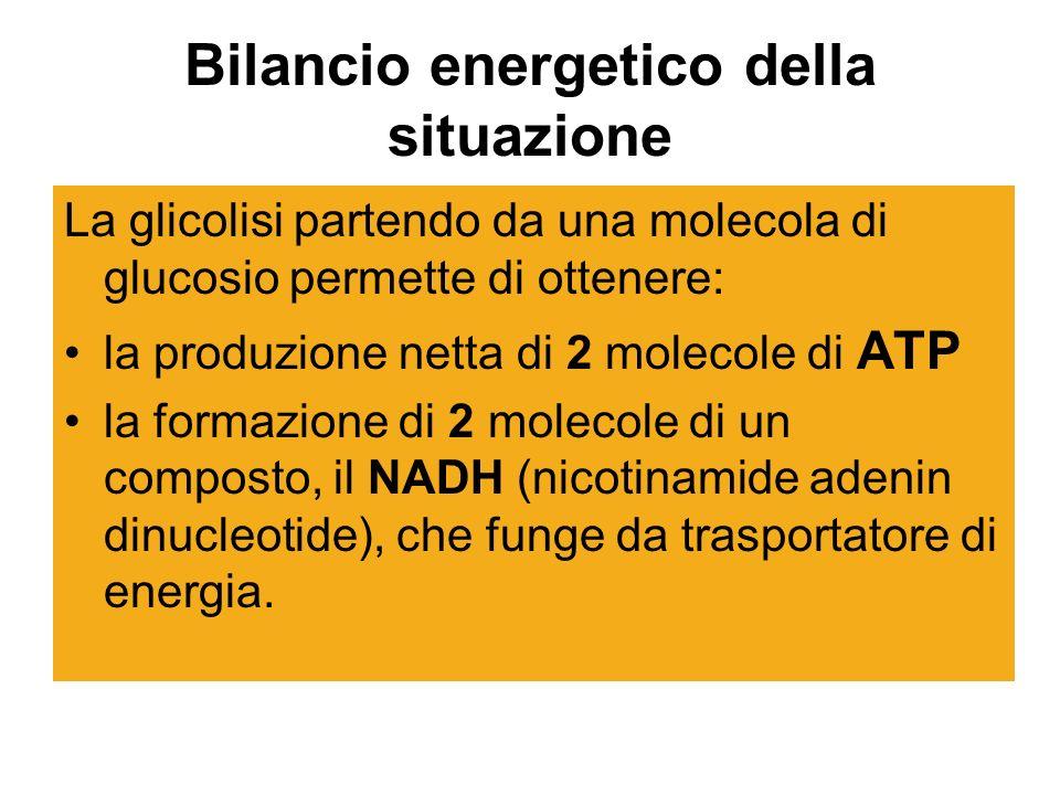 Bilancio energetico della situazione La glicolisi partendo da una molecola di glucosio permette di ottenere: la produzione netta di 2 molecole di ATP la formazione di 2 molecole di un composto, il NADH (nicotinamide adenin dinucleotide), che funge da trasportatore di energia.