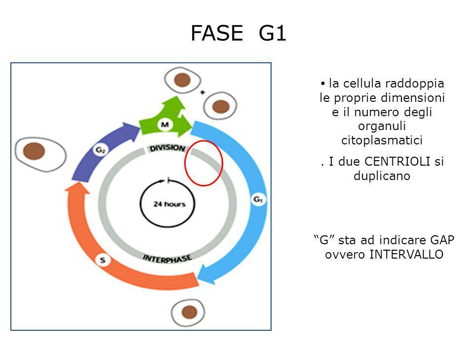 FASE G1 la cellula raddoppia le proprie dimensioni e il numero degli organuli citoplasmatici. I due CENTRIOLI si duplicano G sta ad indicare GAP ovver
