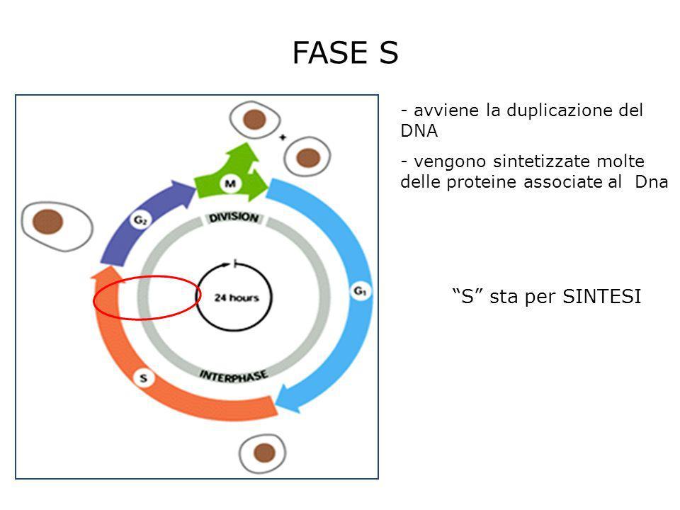 FASE S - avviene la duplicazione del DNA - vengono sintetizzate molte delle proteine associate al Dna S sta per SINTESI