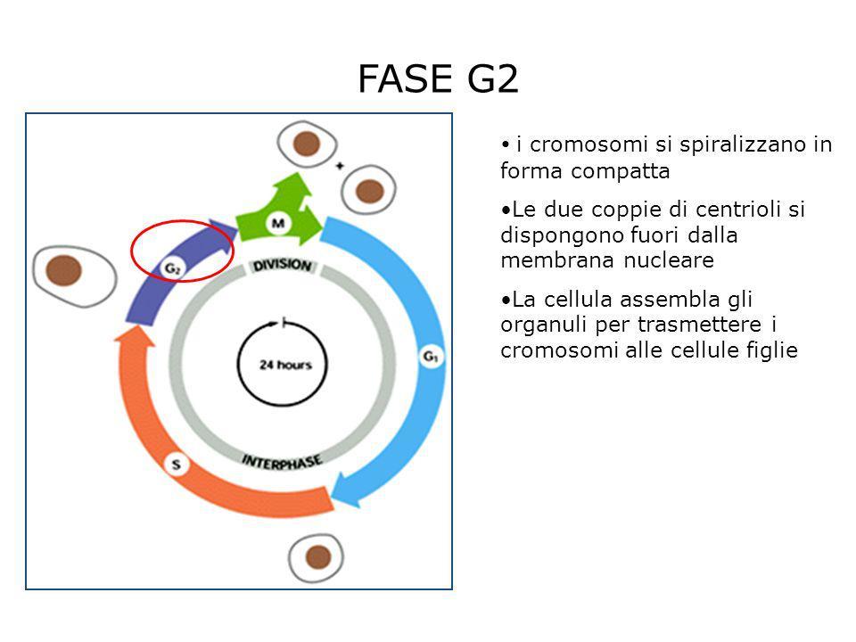 FASE G2 i cromosomi si spiralizzano in forma compatta Le due coppie di centrioli si dispongono fuori dalla membrana nucleare La cellula assembla gli o