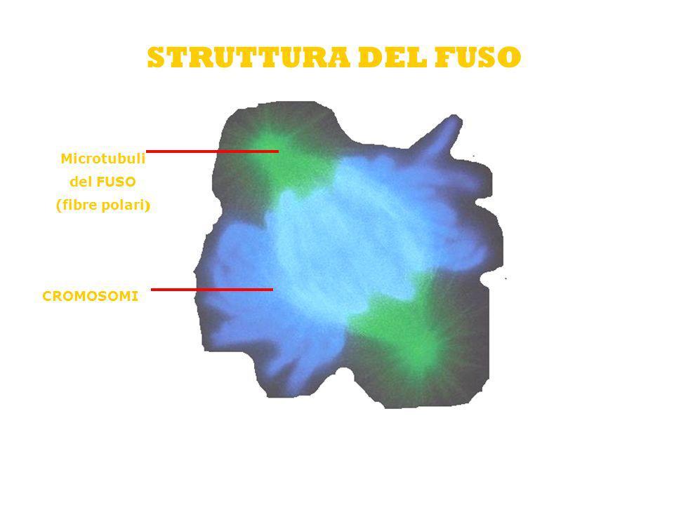 STRUTTURA DEL FUSO Microtubuli del FUSO (fibre polari ) CROMOSOMI