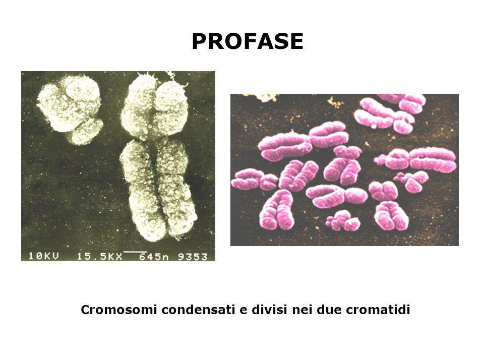 PROFASE Cromosomi condensati e divisi nei due cromatidi