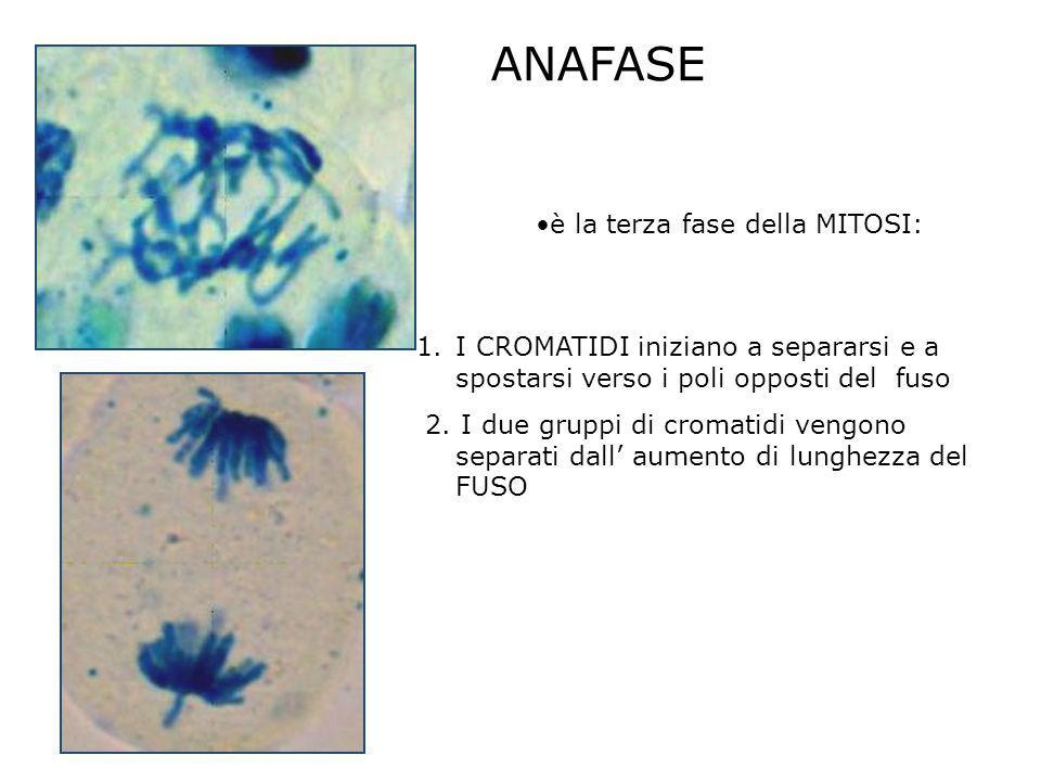 ANAFASE è la terza fase della MITOSI: 1.I CROMATIDI iniziano a separarsi e a spostarsi verso i poli opposti del fuso 2. I due gruppi di cromatidi veng