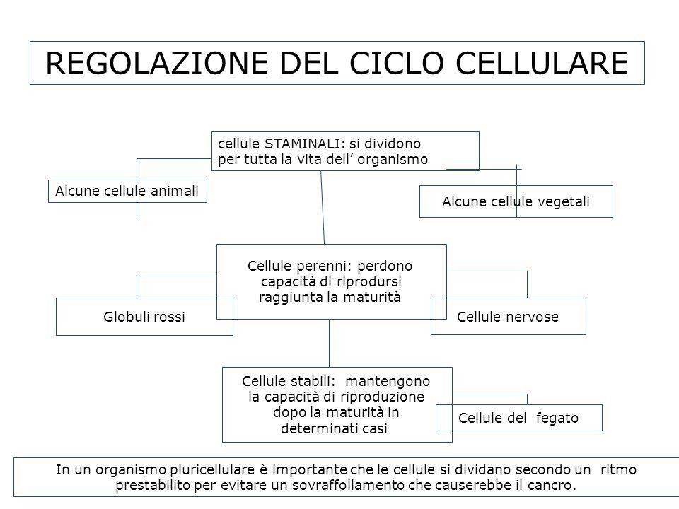 REGOLAZIONE DEL CICLO CELLULARE cellule STAMINALI: si dividono per tutta la vita dell organismo Alcune cellule vegetali Alcune cellule animali Cellule