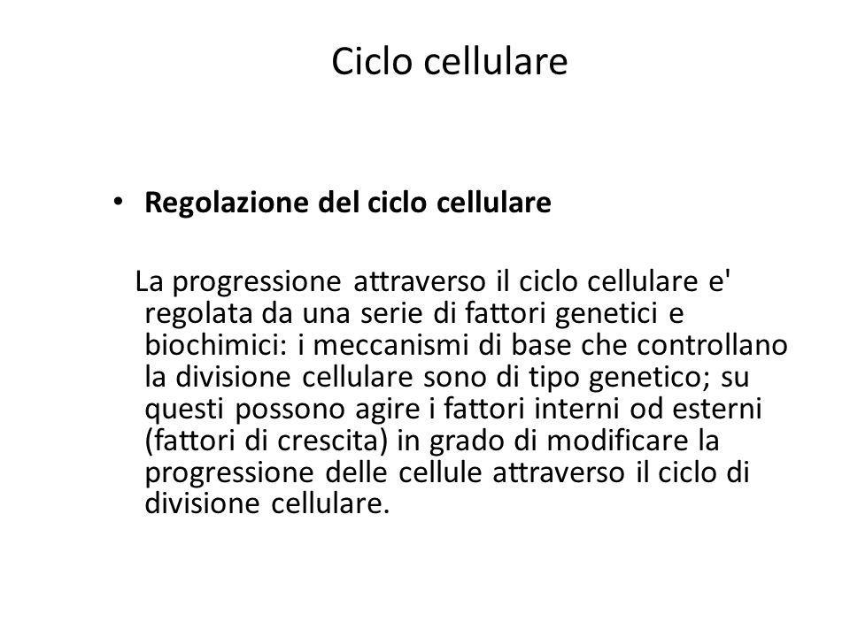 Ciclo cellulare Regolazione del ciclo cellulare La progressione attraverso il ciclo cellulare e' regolata da una serie di fattori genetici e biochimic