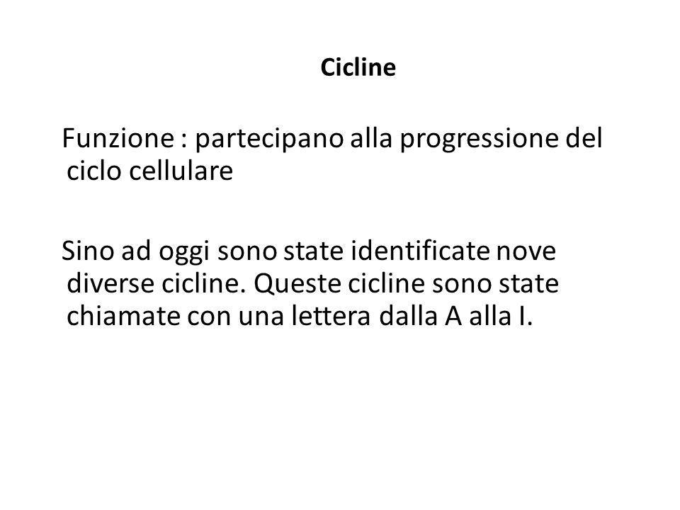 Cicline Funzione : partecipano alla progressione del ciclo cellulare Sino ad oggi sono state identificate nove diverse cicline. Queste cicline sono st