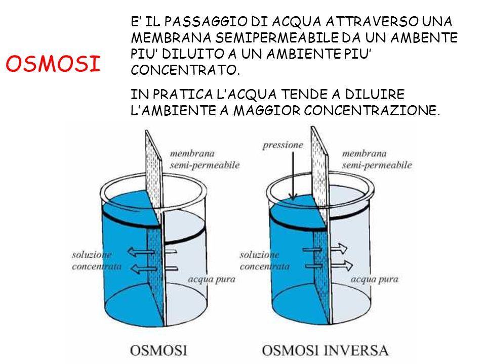 CONSEGUENZE DELLOSMOSI NELLE CELLULE ANIMALI UN GLOBULO ROSSO POSTO IN UNA SOLUZIONE ISOTONICA (CON LA STESSA CONCENTRAZIONE) NON SUBISCE CAMBIAMENTI DI VOLUME UN GLOBULO ROSSO POSTO IN UNA SOLUZIONE IPERTONICA (PIU CONCENTRATA) PERDE ACQUA E RAGGRINZISCE UN GLOBULO ROSSO POSTO IN UNA SOLUZIONE IPOTONICA (MENO CONCENTRATA) SI GONFIA FINO A SCOPPIARE