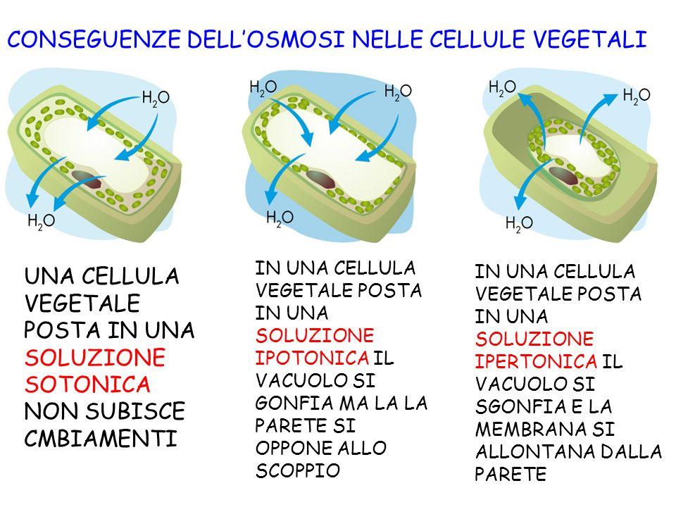CONSEGUENZE DELLOSMOSI NELLE CELLULE VEGETALI UNA CELLULA VEGETALE POSTA IN UNA SOLUZIONE SOTONICA NON SUBISCE CMBIAMENTI IN UNA CELLULA VEGETALE POST