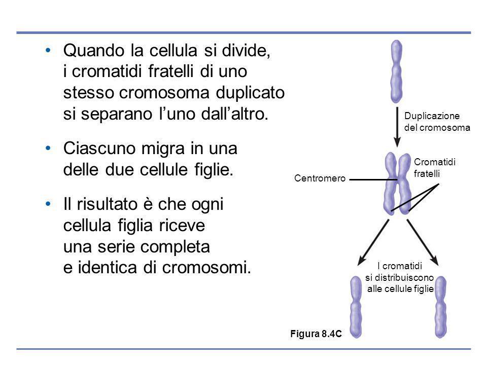 Quando la cellula si divide, i cromatidi fratelli di uno stesso cromosoma duplicato si separano luno dallaltro.