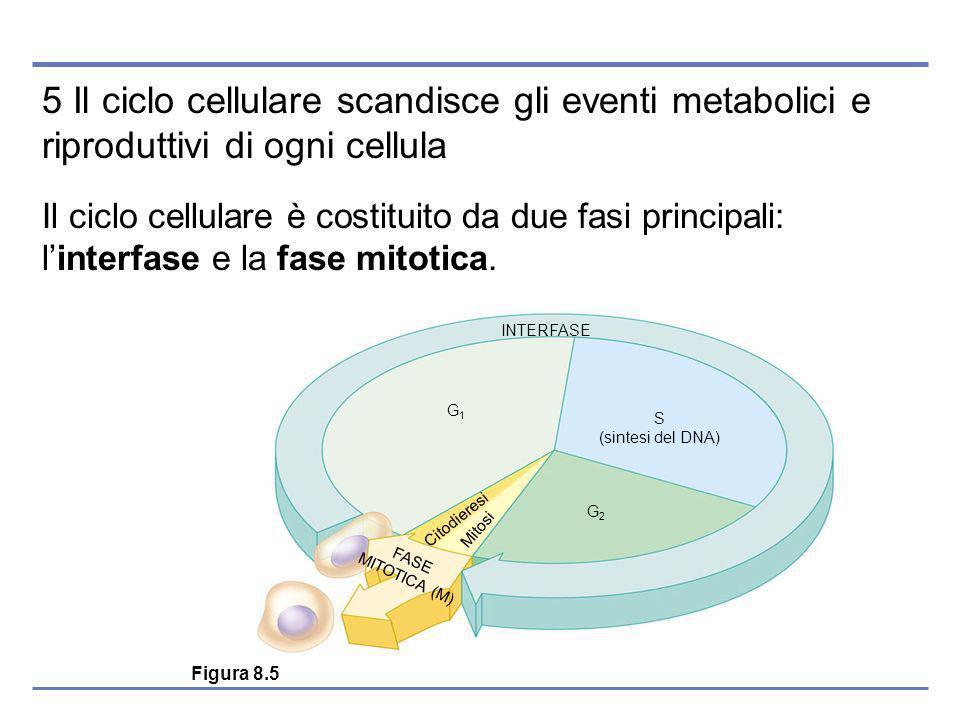 5 Il ciclo cellulare scandisce gli eventi metabolici e riproduttivi di ogni cellula Il ciclo cellulare è costituito da due fasi principali: linterfase e la fase mitotica.