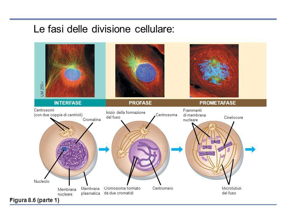Le fasi delle divisione cellulare: Membrana nucleare Membrana plasmatica Cromosoma formato da due cromatidi Microtubuli del fuso INTERFASEPROFASEPROMETAFASE LM 250 Cromatina Centrosomi (con due coppie di centrioli) Nucleolo Inizio della formazione del fuso Centrosoma Centromero Cinetocore Frammenti di membrana nucleare Figura 8.6 (parte 1)