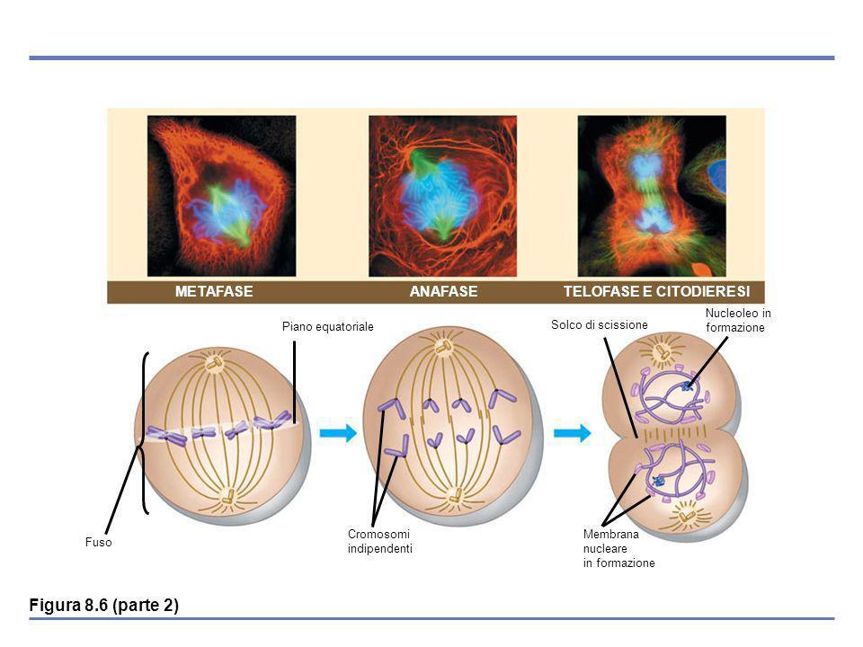 METAFASE ANAFASE TELOFASE E CITODIERESI Fuso Piano equatoriale Cromosomi indipendenti Membrana nucleare in formazione Solco di scissione Nucleoleo in formazione Figura 8.6 (parte 2)