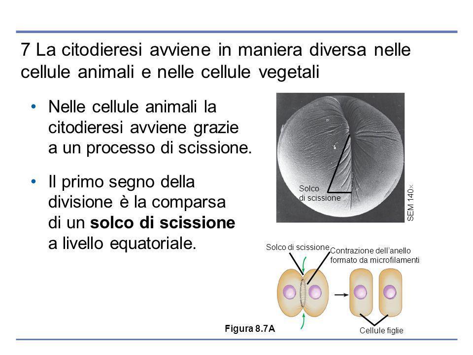 Solco di scissione SEM 140 Cellule figlie Solco di scissione Contrazione dellanello formato da microfilamenti 7 La citodieresi avviene in maniera diversa nelle cellule animali e nelle cellule vegetali Nelle cellule animali la citodieresi avviene grazie a un processo di scissione.