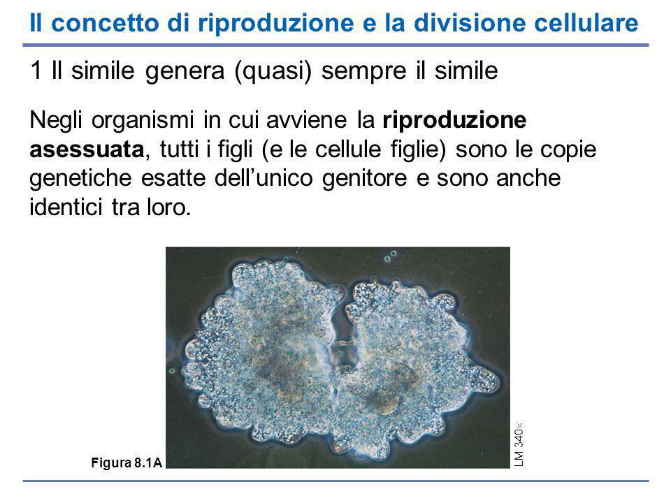 Il concetto di riproduzione e la divisione cellulare 1 Il simile genera (quasi) sempre il simile Negli organismi in cui avviene la riproduzione asessuata, tutti i figli (e le cellule figlie) sono le copie genetiche esatte dellunico genitore e sono anche identici tra loro.