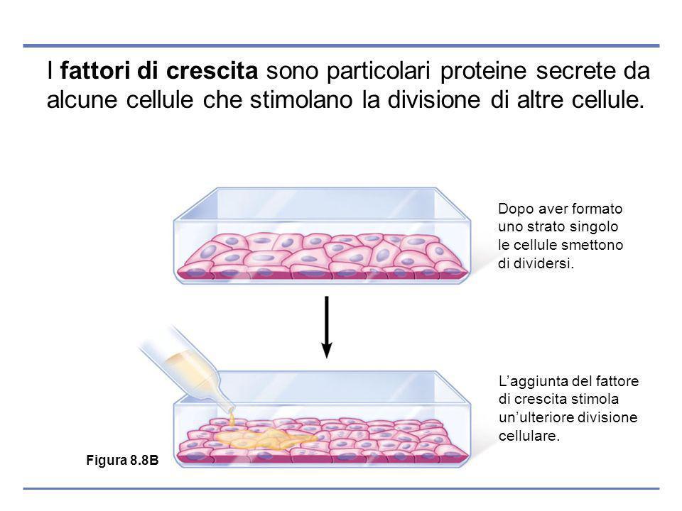 I fattori di crescita sono particolari proteine secrete da alcune cellule che stimolano la divisione di altre cellule.