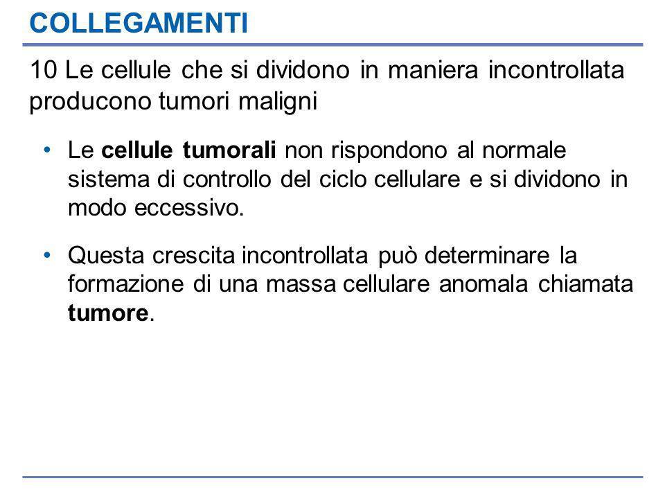 COLLEGAMENTI 10 Le cellule che si dividono in maniera incontrollata producono tumori maligni Le cellule tumorali non rispondono al normale sistema di controllo del ciclo cellulare e si dividono in modo eccessivo.
