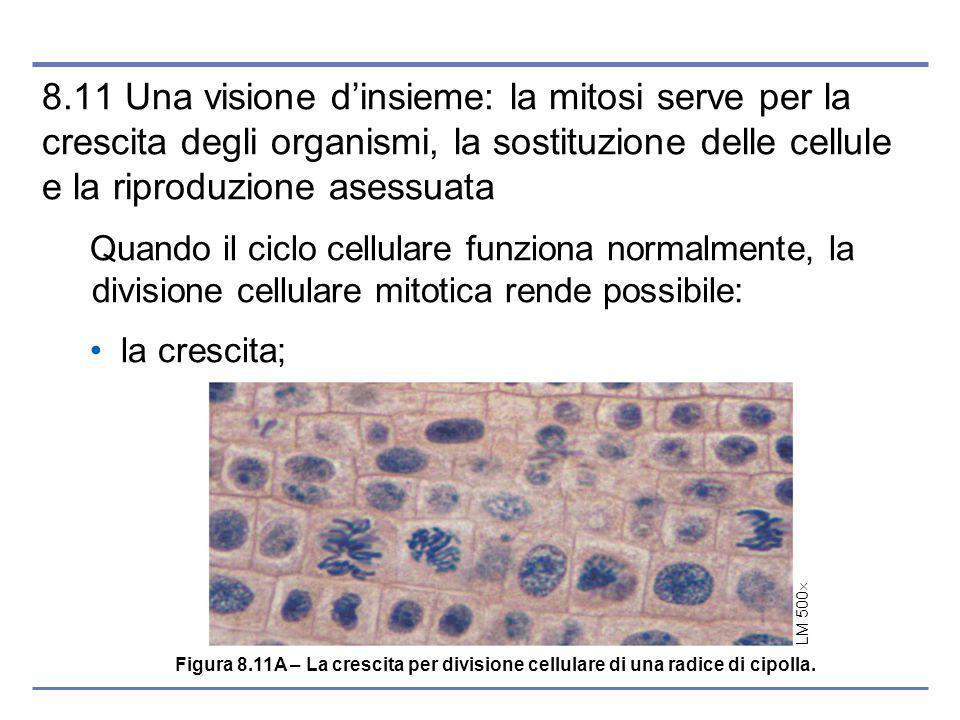 LM 500 8.11 Una visione dinsieme: la mitosi serve per la crescita degli organismi, la sostituzione delle cellule e la riproduzione asessuata Quando il ciclo cellulare funziona normalmente, la divisione cellulare mitotica rende possibile: la crescita; Figura 8.11A – La crescita per divisione cellulare di una radice di cipolla.
