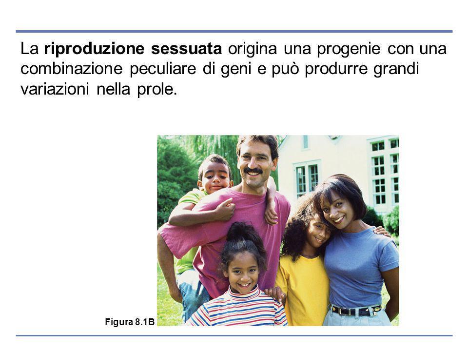 La riproduzione sessuata origina una progenie con una combinazione peculiare di geni e può produrre grandi variazioni nella prole.