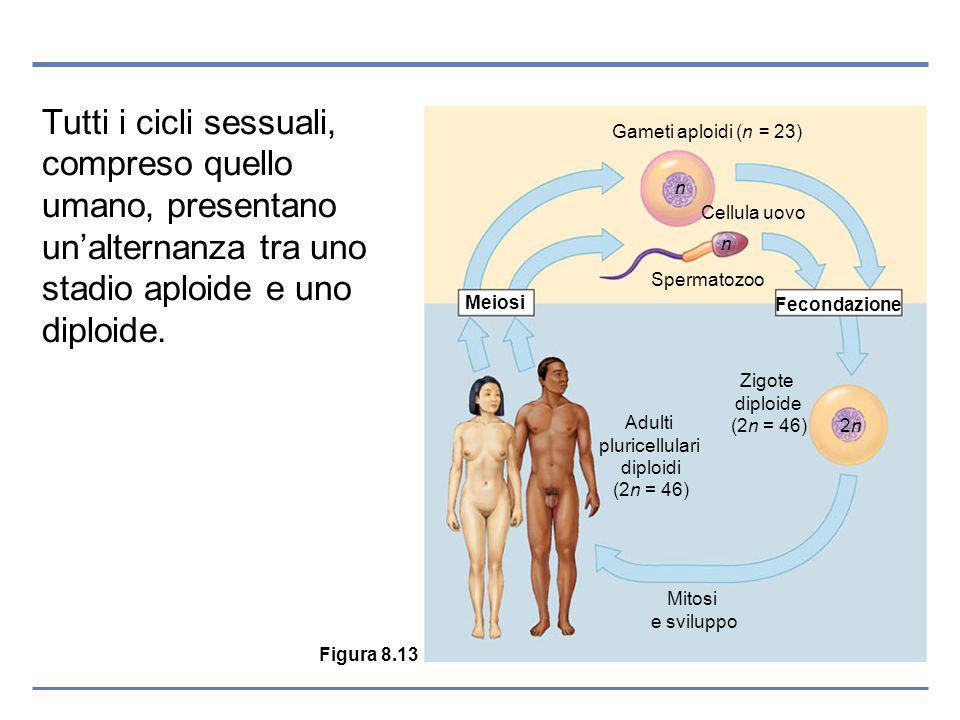 Tutti i cicli sessuali, compreso quello umano, presentano unalternanza tra uno stadio aploide e uno diploide.