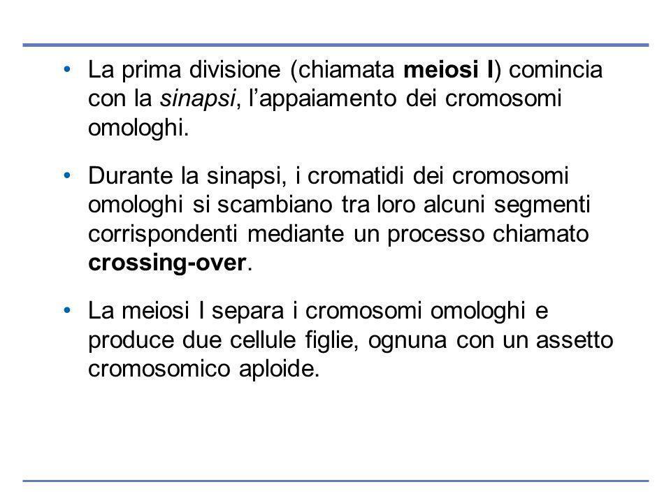 La prima divisione (chiamata meiosi I) comincia con la sinapsi, lappaiamento dei cromosomi omologhi.