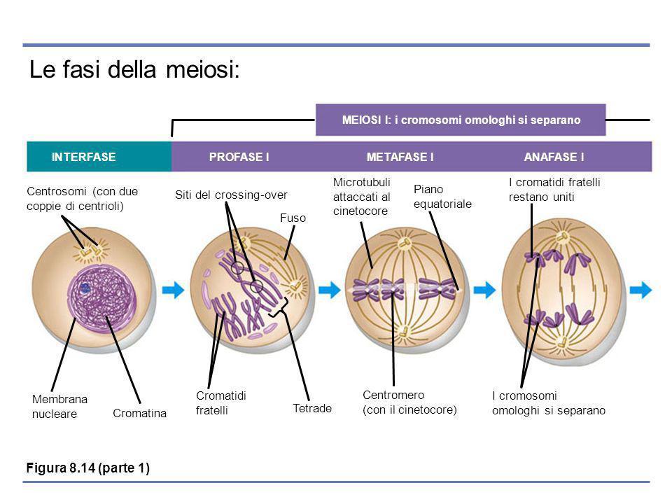 Le fasi della meiosi: MEIOSI I: i cromosomi omologhi si separano INTERFASE PROFASE I METAFASE I ANAFASE I Centrosomi (con due coppie di centrioli) Siti del crossing-over Fuso Microtubuli attaccati al cinetocore Piano equatoriale I cromatidi fratelli restano uniti Membrana nucleare Cromatina Cromatidi fratelli Tetrade Centromero (con il cinetocore) I cromosomi omologhi si separano Figura 8.14 (parte 1)