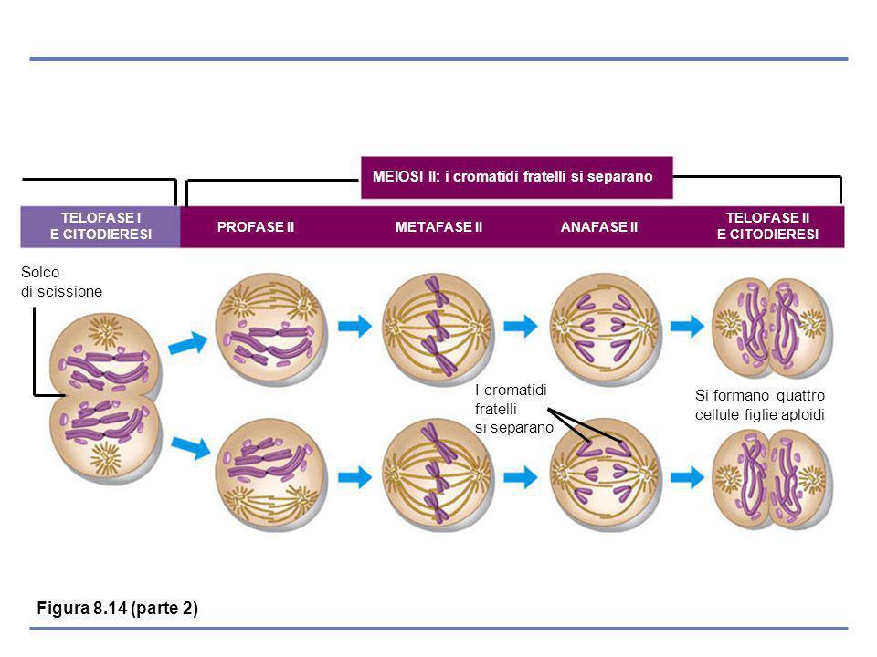 PROFASE II METAFASE II ANAFASE II TELOFASE I E CITODIERESI TELOFASE II E CITODIERESI Solco di scissione Si formano quattro cellule figlie aploidi I cromatidi fratelli si separano MEIOSI II: i cromatidi fratelli si separano Figura 8.14 (parte 2)