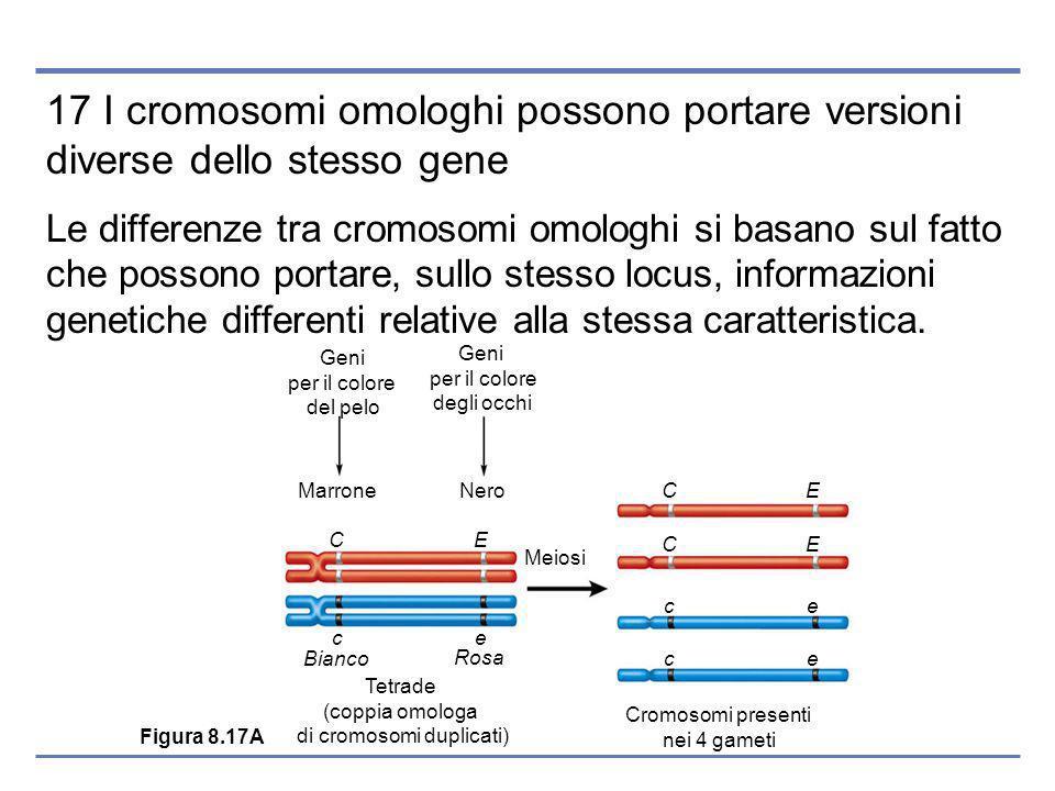 17 I cromosomi omologhi possono portare versioni diverse dello stesso gene Le differenze tra cromosomi omologhi si basano sul fatto che possono portare, sullo stesso locus, informazioni genetiche differenti relative alla stessa caratteristica.
