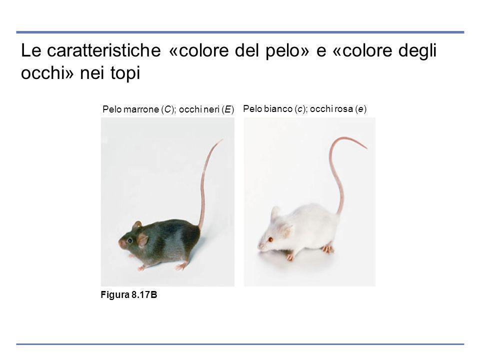 Le caratteristiche «colore del pelo» e «colore degli occhi» nei topi Pelo marrone (C); occhi neri (E) Pelo bianco (c); occhi rosa (e) Figura 8.17B