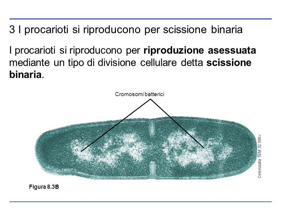 3 I procarioti si riproducono per scissione binaria I procarioti si riproducono per riproduzione asessuata mediante un tipo di divisione cellulare detta scissione binaria.
