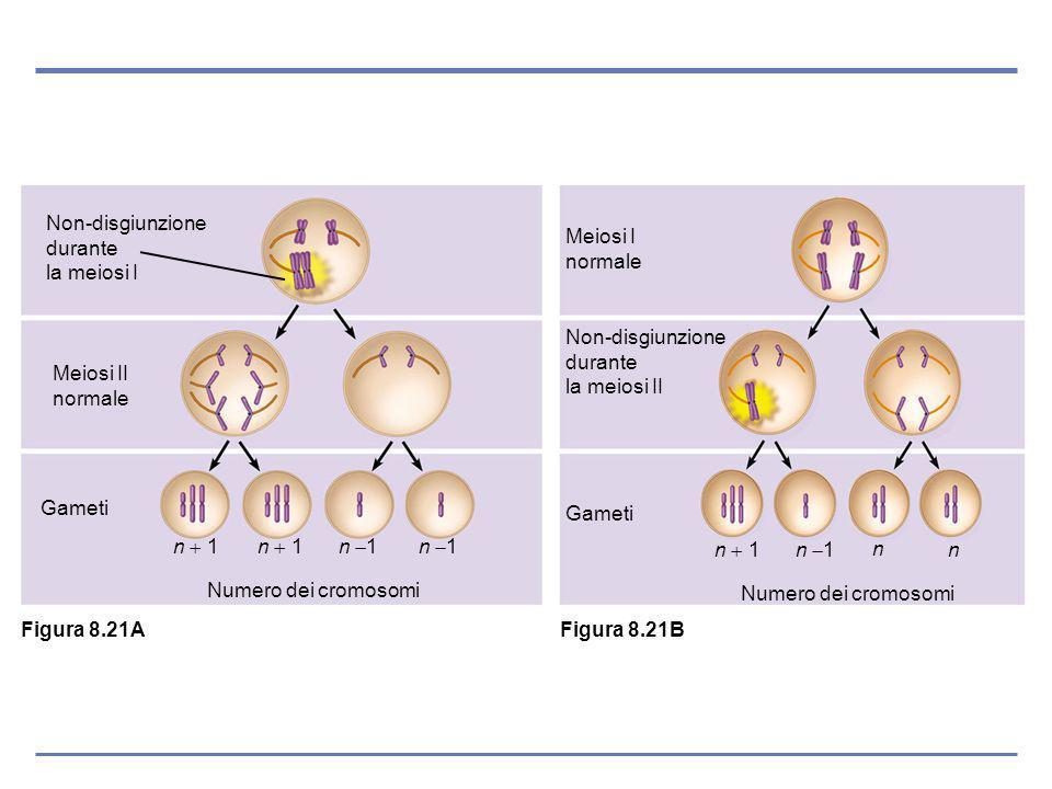 Non-disgiunzione durante la meiosi I Meiosi II normale Gameti n 1 Numero dei cromosomi Non-disgiunzione durante la meiosi II Meiosi I normale Gameti n 1 n n Numero dei cromosomi Figura 8.21A Figura 8.21B