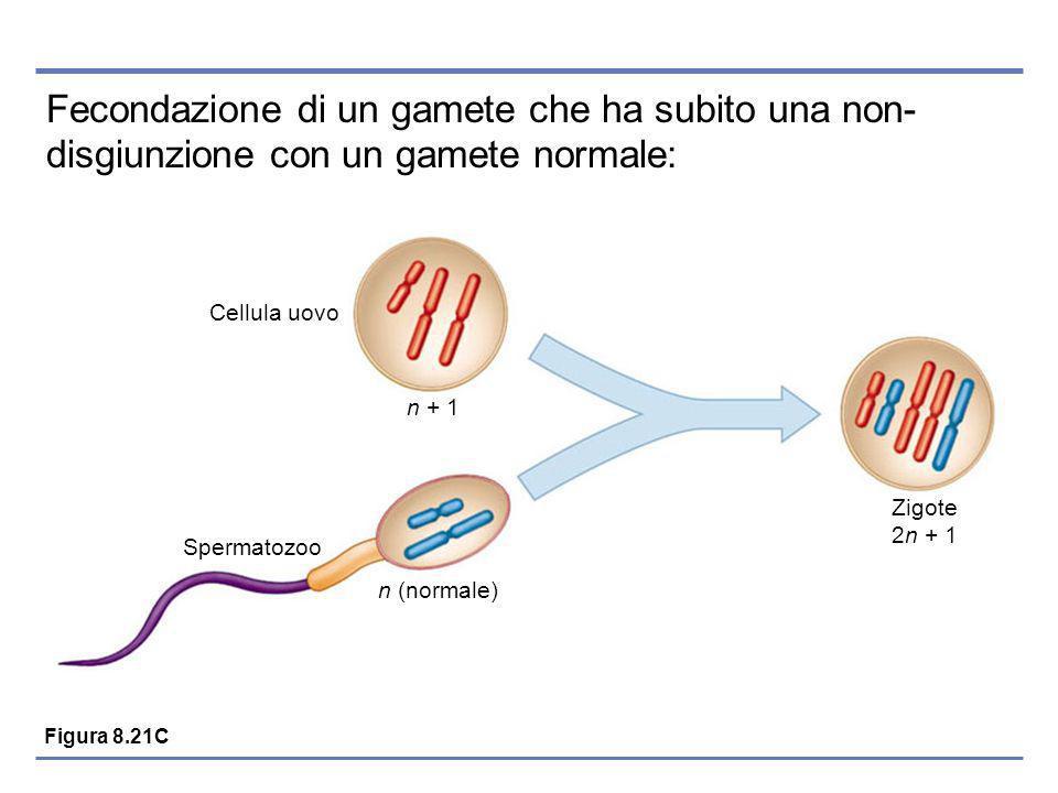 Fecondazione di un gamete che ha subito una non- disgiunzione con un gamete normale: Spermatozoo Cellula uovo n (normale) n + 1 Zigote 2n + 1 Figura 8.21C